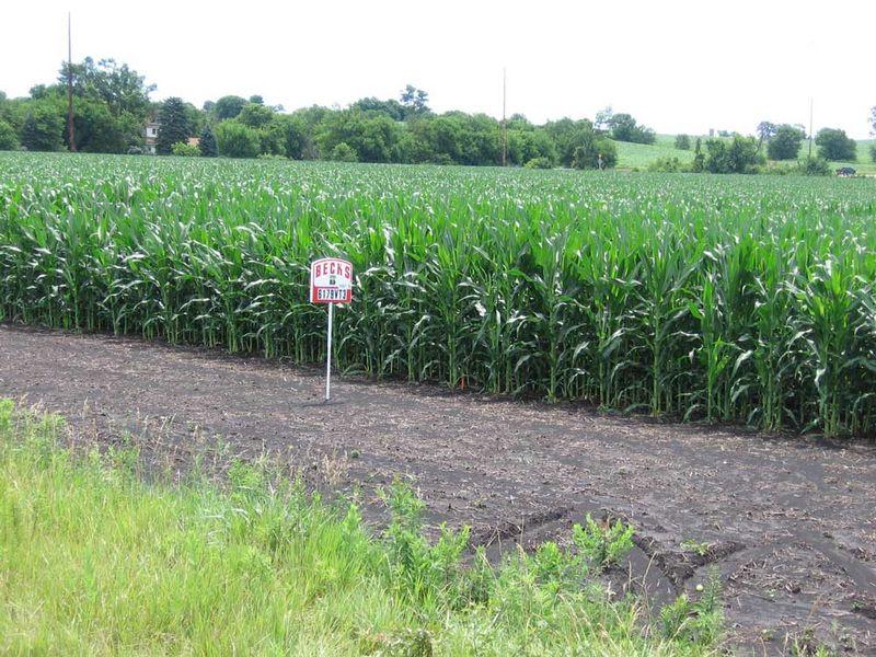 Corn-fields-